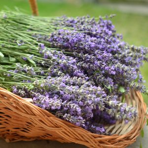 Cut your own lavender